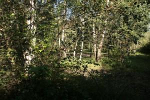Wald verkommt in Kiel zur Spekuliermasse -Beispiel: Nicht mehr vorhandener Pionierwald an der Kieler Hörn, der für das Zentralbad geopfert wurde.