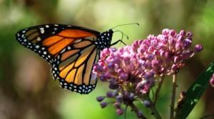 Gentechnik und Herbizide bedrohen den Monarchfalter und seine Futterpflanzen (Foto: Rachel James - Lizenz CC BY-NC-SA 2.0)